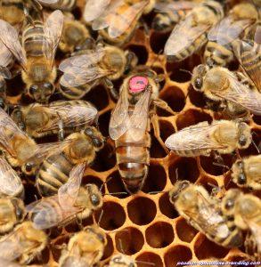 reine-des-abeilles-2